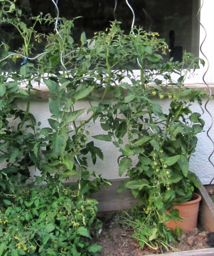 tomaten pflanzen uhles gartengedanken. Black Bedroom Furniture Sets. Home Design Ideas