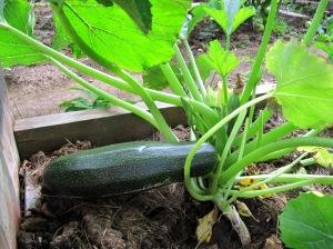GG-2015-19 - Zucchini 1