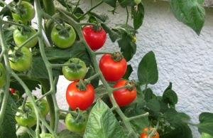 Tomatenbilanz 1: Die Sorten