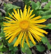 Alant. Detailaufnahme der gelben Blüte.