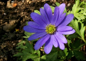 32-anemone-2011-4