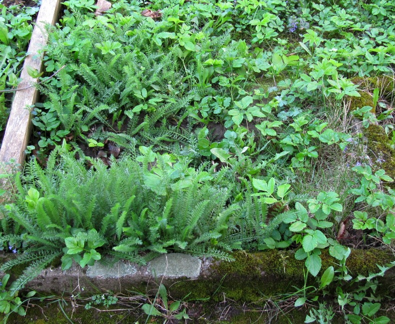 Der Boden Ist Humushaltig Mit Leichtem Hang Zum Lehm. Aber All Dies Sind  Nur Zusätzliche Eigenschaften. Die Haupteigenschaft Des Gartens Ist Der  Giersch.