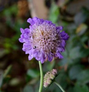 Skabiose, Blüte