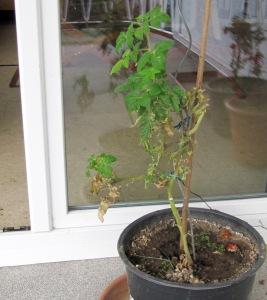 Tomatenpflanaze auf dem Balkon