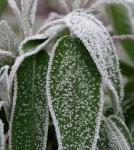 Salbei. Einzelne Bläter eines Strauches mit Eiskristallen überzogen.