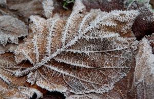 Einzelnes Herbstlaubblatt mit Eiskristallen überzogen.