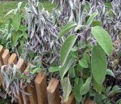 Salbeibusch mit im Winter erfrorenen Blättern.
