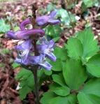 Blüte und Blatt des Lerchensporns