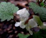 Taubnesselblüte
