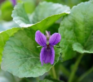 Blüte eines Duftveilchens