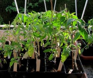 Vorgezogene Tomatenpflanzen