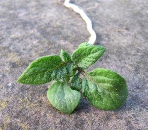 Blätter einer jungen Kartoffelpflanze