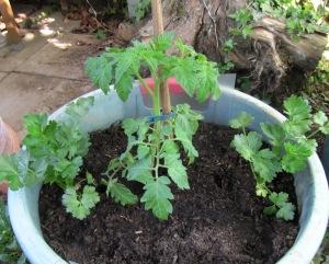 Tomate und Knollensellerie im gemeinsamen Pflanzkübel