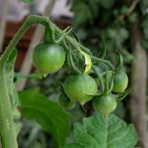 Unreife Tomate der Sorte Ruthje