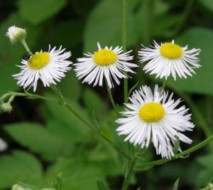 Blüte des Feinstrahls