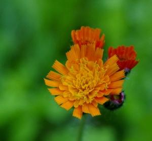 Blüte des Orangeroten Habichtskrauts