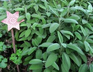 Salbei officinalis als Pflanze im Garten