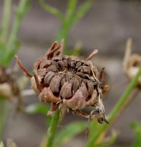 Verblühte Ringelblume mit Samenkörnern