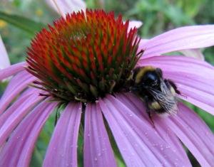 Echinaceablüte, Detailaufnahme mit wilder Biene