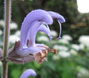 Muskatellersalbei, Detail der Blüte