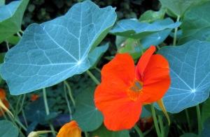 Kapuzinerkresse, Blüten und Blätter