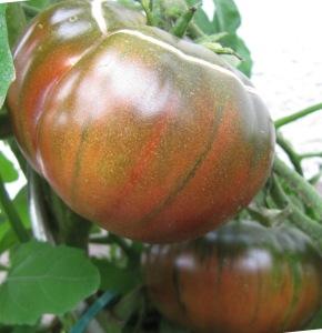 Tomatensorte Tschernij Prinz