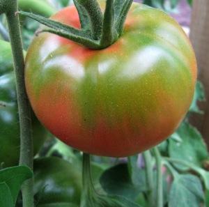 Tomatensorte Rose de Berne