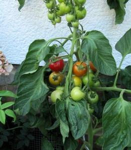 Tomatenpflanze der Sorte Matina mit reifen Früchten
