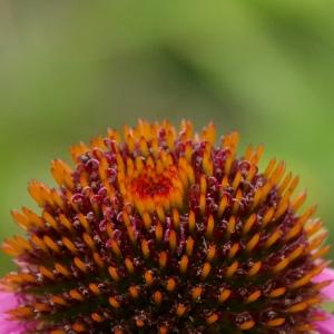 Nahaufnahme der Blüte einer Echinacea