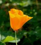 Einzelne Blüte des Kalifornischen Mohns