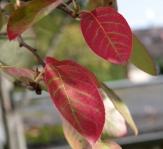 Herbstfarbene Blätter der Felsenbirne