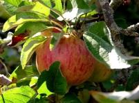 Apfel mit Laub am Baum
