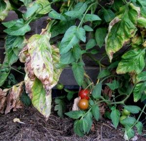 Tomatenpflanze mit roten Früchten und von Krautfäule befallenen Blättern