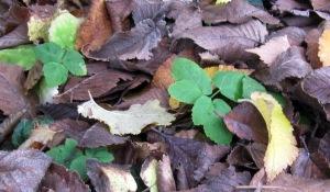 Gierschpflanze zwischen Herbstlaub
