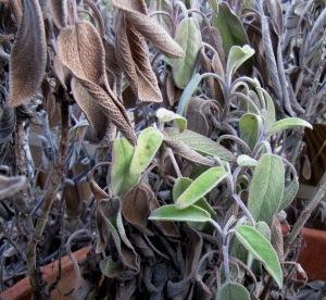Salbeistrauch mit erfrorenen und frischen Blättern