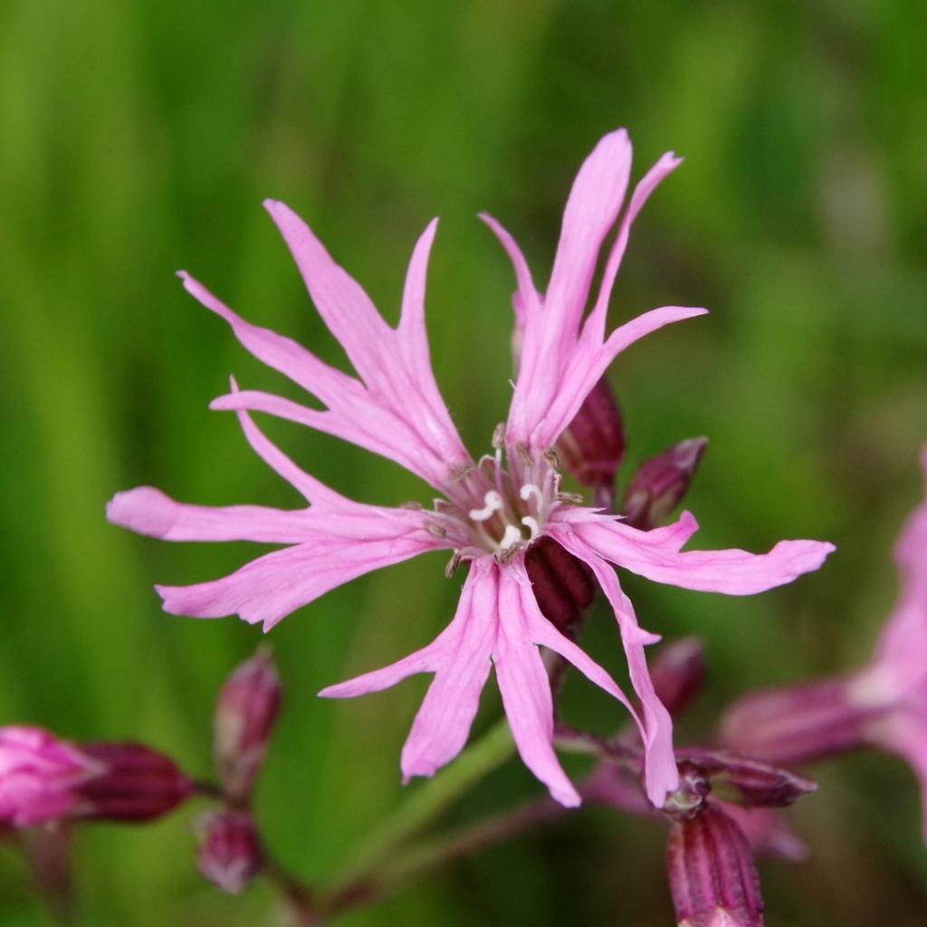 Blüte der Kuckuckslichtnelke